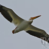 108 inches of a soaring White Pelican, Jackson Lake, Grand Teton N.P.