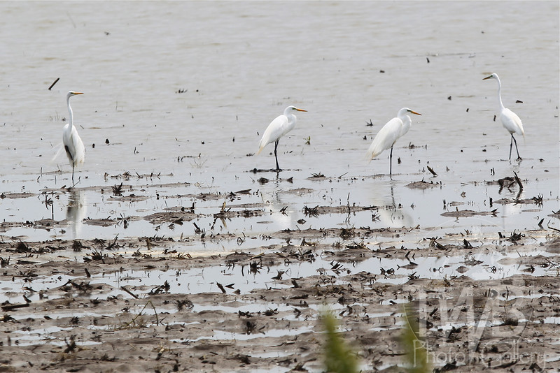 wet fields offer a meeting place for these Egrets in Elsberry , Missouri
