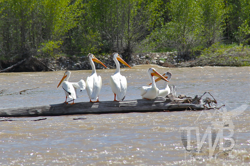 "White Pelicans ""logging"" time on the Snake River South of Jackson,Wyoming"