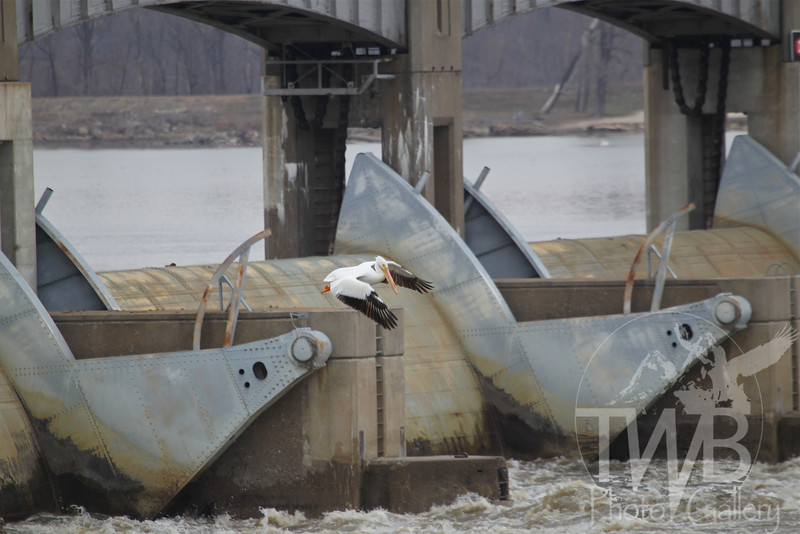 Lock and Dam 24 in Clarksville , serves as a backdrop for a White Pelican