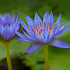 Water Lily's