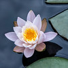 """Water Lily""""s"""