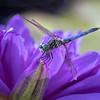 Dragon Fly Q0A2750 copy