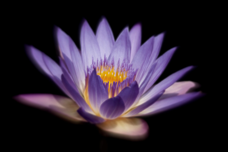 Water Lily_MG_6753c