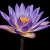 Water Lily_MG_6753b