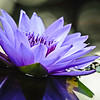 water lily, purple and personal
