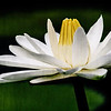 water lily on a cloudy afternoon