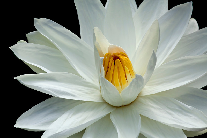 Water Lily_MG_6457