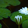 night blooming water lilies