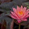 Water Lily _MG_6864b