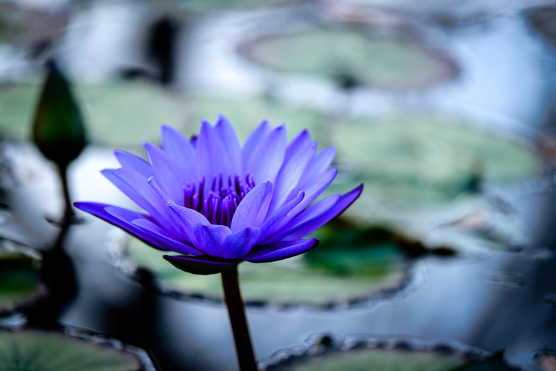 water lily,late in the afternoon on a day in October