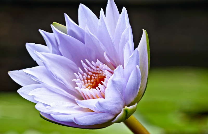water lily, macro