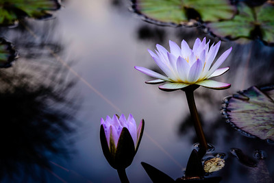 water lilies in the soft light of late afternoon