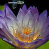 Water Lily _MG_6672
