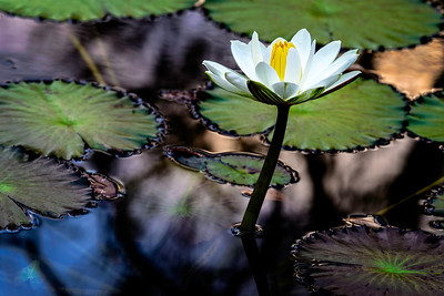 water lily in the glow of sunset