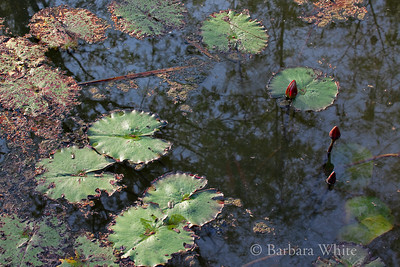 Kirimaya Water Lilies