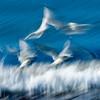 seagulls-flutter_6932