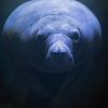 Florida manatees are large, aquatic mammals that are native to Florida.