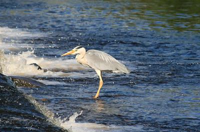 Grey Heron, River Cree.