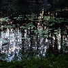 Swamp Lily Pond