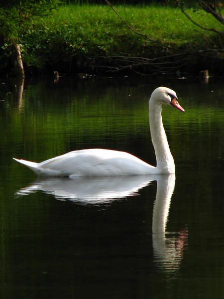 Swan mirrored