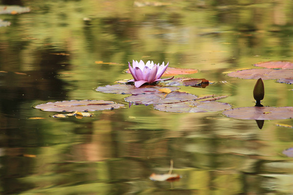 Mauve Water Lily and Reflections