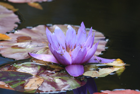 Mauve Water Lily