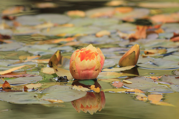 Orange Water Lily and Frog