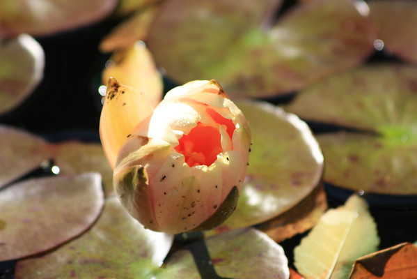 Close up of Peach Water Lily