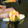 Pale Yellow Water Lily