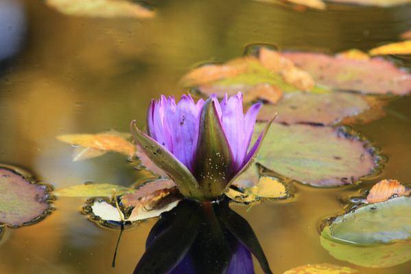 Mauve Water Lily on Gold Pond