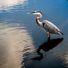 gatorland heron