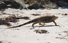 The island wasn't completely deserted--an iguana joined us on the beach.