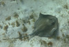 Stingray, or maybe a skate, under our boat.
