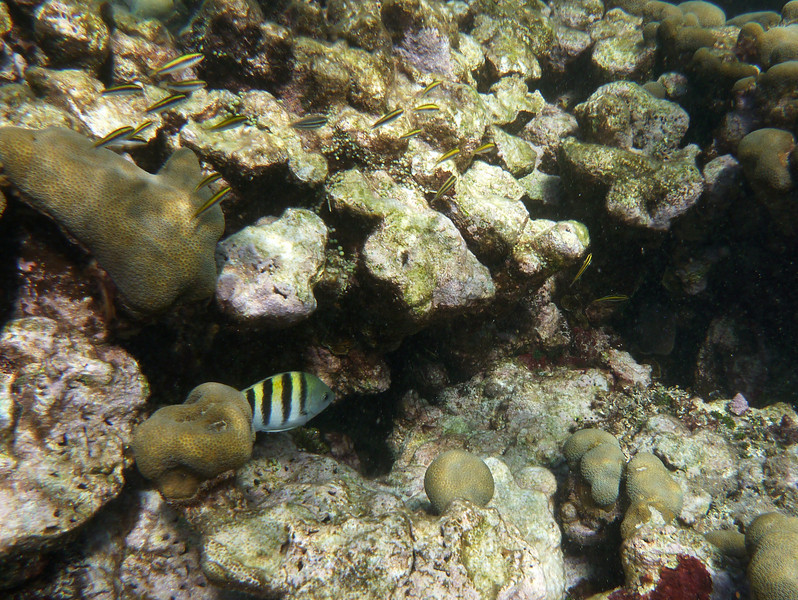 A sergeant major among the coral.