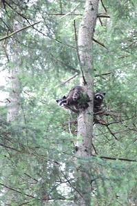 Some curious visitors check out our camp from above... any extra dinner?
