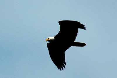 Our second bald eagle spotting. This one flies nice and close at the north end of Cypress Island.