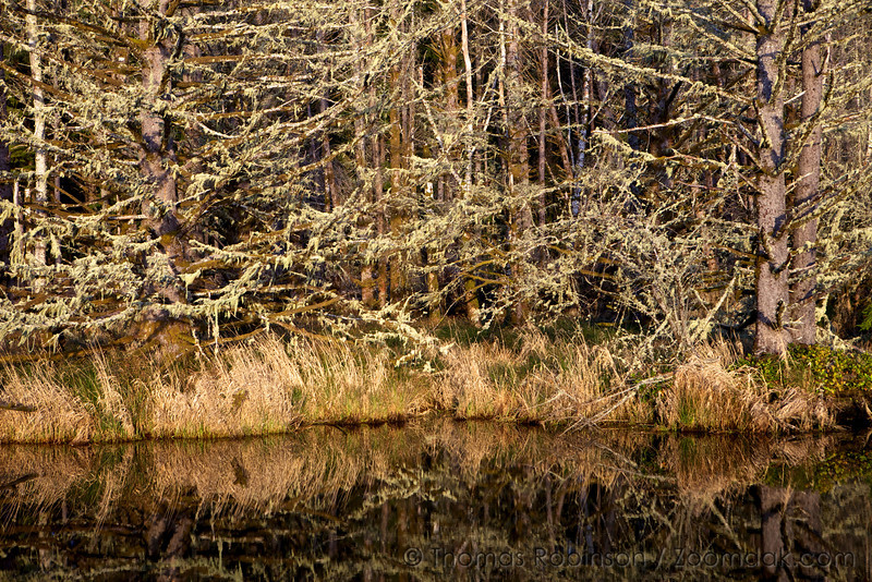 Spruce Trees at Willapa Bay