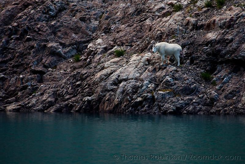 Mountain Goat Along Milk Lake