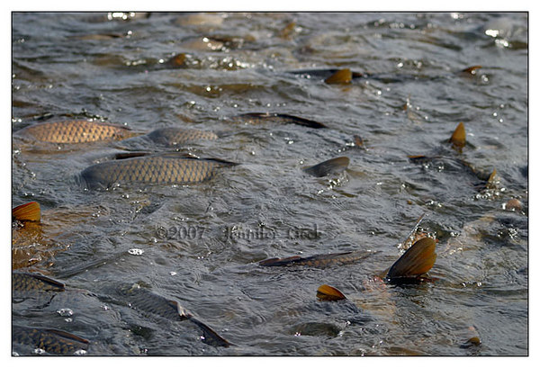 Tons of carp trying to reach the warm waters of the swamp.