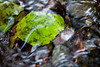 A leaf submerged in the flow of Lena Creek in the Olympic National Park.