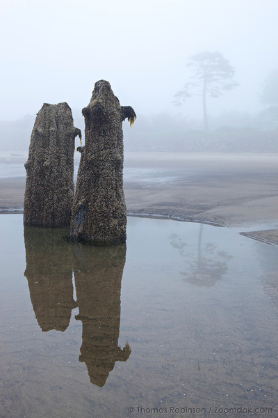 Fog obscures the beach with two barnacle covered stumps sitting in a tidepool.