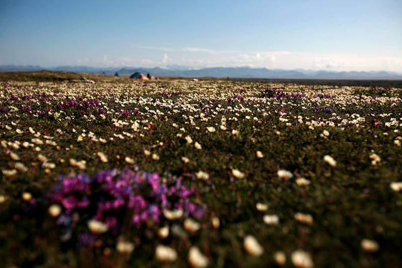 KONGAKUT RIVER, AK - Camp VIII: Costal Plain; Looking across the flower carpteted tundra back at camp.