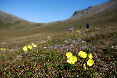 KONGAKUT RIVER, AK - Camp VII: Caribou Ridge; Hike 3; Arctic Poppy (Gorodkovii) dances in the light breeze as we march across the tundra in the valley hidden in Caribou Ridge.