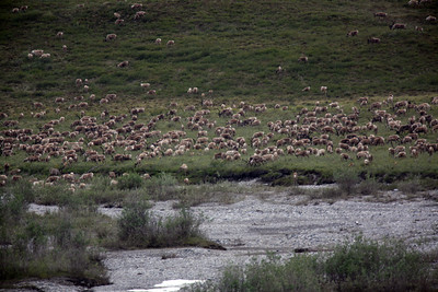 KONGAKUT RIVER, AK - Headwaters hike: we find the herd of caribou. Estimate about 1,500+ animals total (beyond this image).