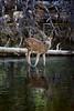 Baby Deer in the Stream