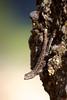 Eastern Oregon Lizard