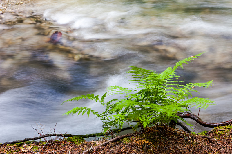Lady Fern on Creek's Edge