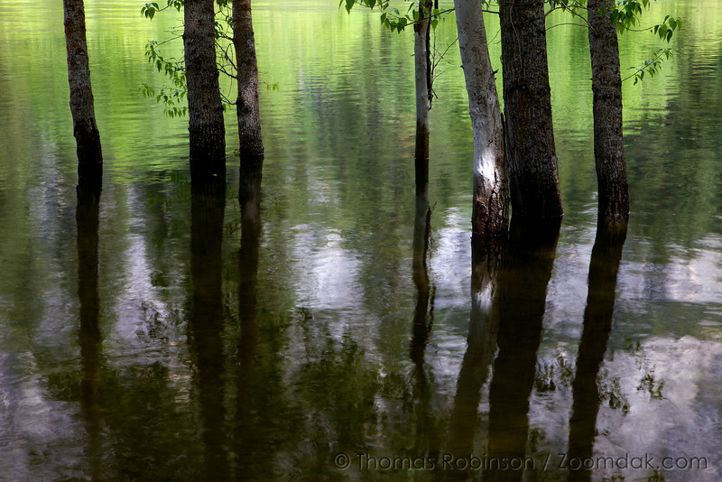 The Merced River in Yosemite Valley floods through this copse of trees.