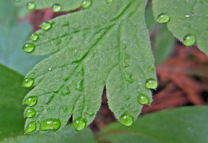 May 24, 2014.  Water drops on leaves at Pilot Rock in Cascade-Siskiyou NM, Oregon.